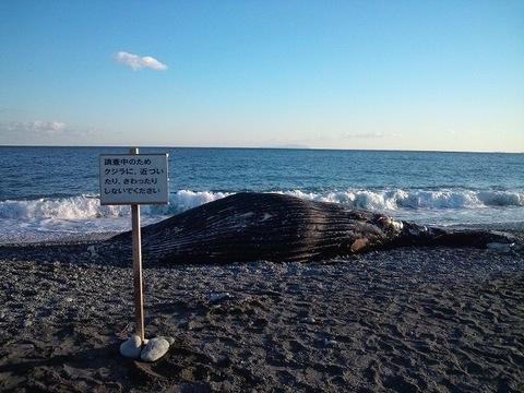 2012年1月小田原の海岸に打ち上がったクジラ.jpg