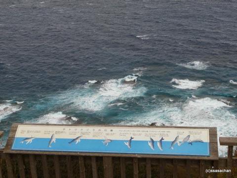 小笠原クジラ.png