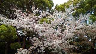 平塚総合公園の桜.jpg